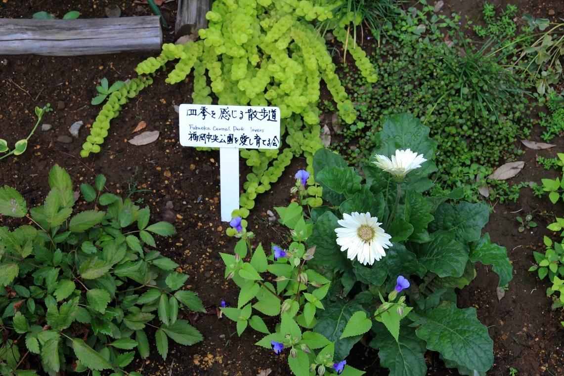 あさがお  ~福岡中央公園・四季を感じる散歩道~_a0107574_17471250.jpg