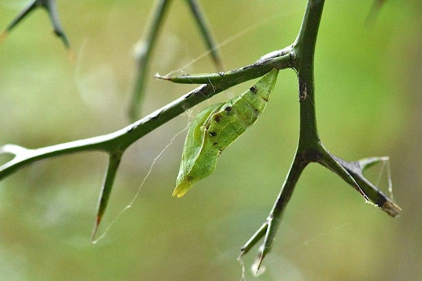 アゲハ類の幼虫たち(2015年8月26日) _d0303129_323429.jpg