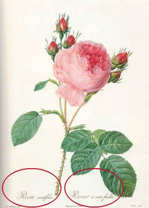 ルドゥーテ 『バラ図譜』各絵柄の下の方にある飾り文字の意味は?_e0356356_10455149.jpg