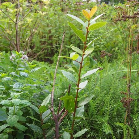 庭植えの月桂樹、生きてました_a0292194_15465027.jpg