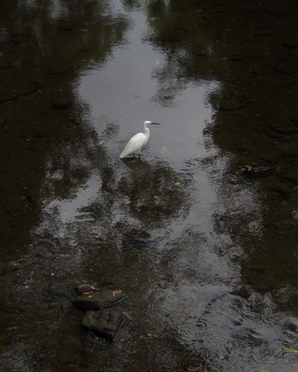 滑川のコサギ。_b0022268_19473276.jpg