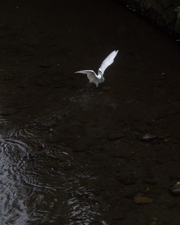 滑川のコサギ。_b0022268_22293813.jpg