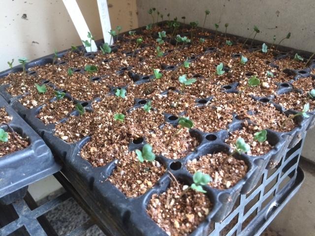 適度な雨で 土が潤いました 播種や畝作りを始めます 畑直蒔きの畝やパレット蒔きの様子_c0222448_14275018.jpg