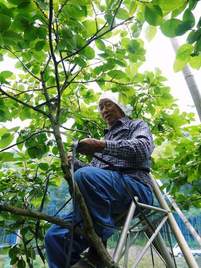 太秋柿 古川果樹園 匠の惜しまぬ手間ひまが台風15号から『太秋柿』を守りました!!_a0254656_1963429.jpg