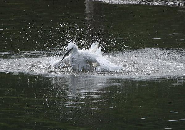 コサギの水浴び_d0313867_7115034.jpg