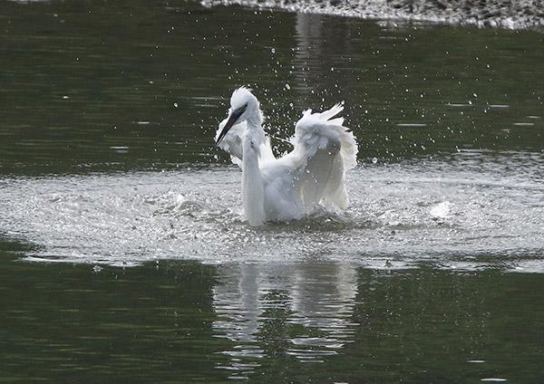 コサギの水浴び_d0313867_7115955.jpg