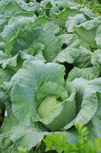 来週の野菜セットの内容(予定)です。_c0110869_1421524.jpg