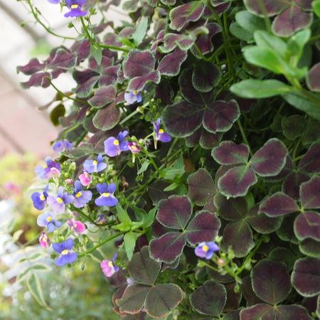 お花の終わった寄せ植えの鉢の中はこんな風に_a0292194_16305766.jpg
