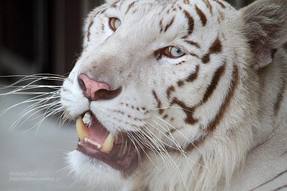 2015.8.1 宇都宮動物園☆ホワイトタイガーのアース【White tiger】_f0250322_10461880.jpg