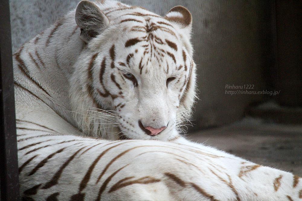 2015.8.1 宇都宮動物園☆ホワイトタイガーのアース【White tiger】_f0250322_10462519.jpg