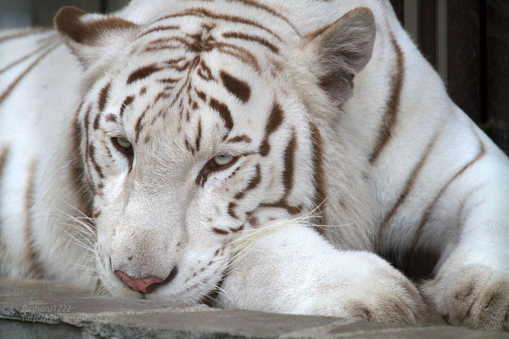 2015.8.1 宇都宮動物園☆ホワイトタイガーのアース【White tiger】_f0250322_1046633.jpg