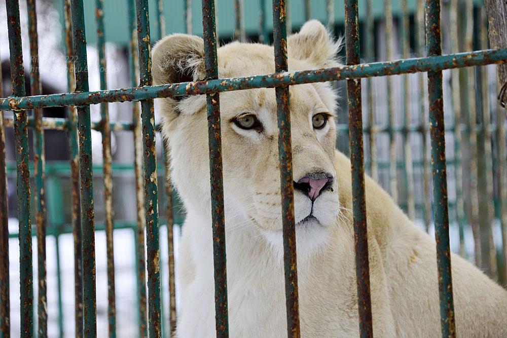 2015.3.14 東北サファリパーク☆ホワイトライオンのヒマ【White lion】_f0250322_13232043.jpg