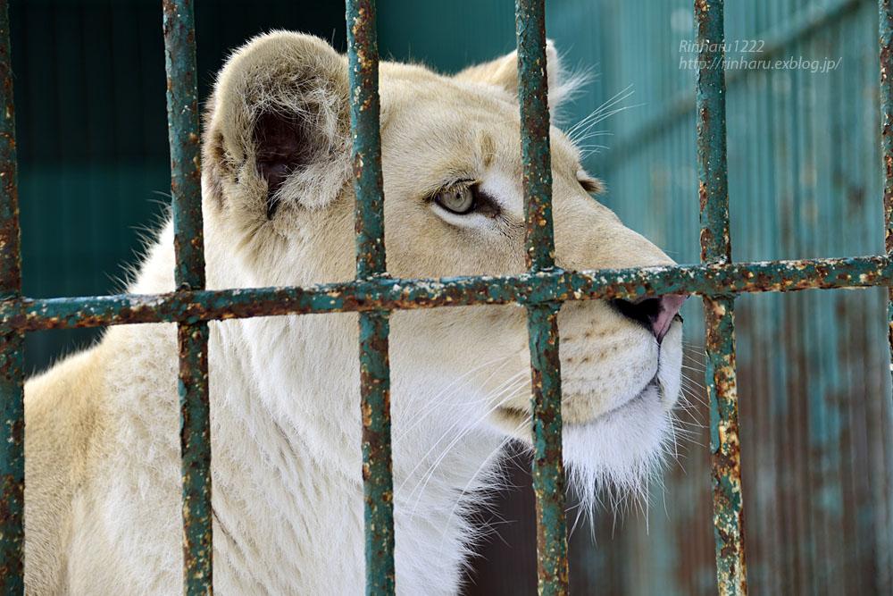2015.3.14 東北サファリパーク☆ホワイトライオンのヒマ【White lion】_f0250322_1323243.jpg
