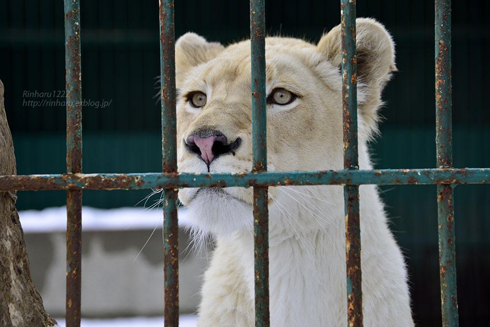2015.3.14 東北サファリパーク☆ホワイトライオンのヒマ【White lion】_f0250322_13232777.jpg