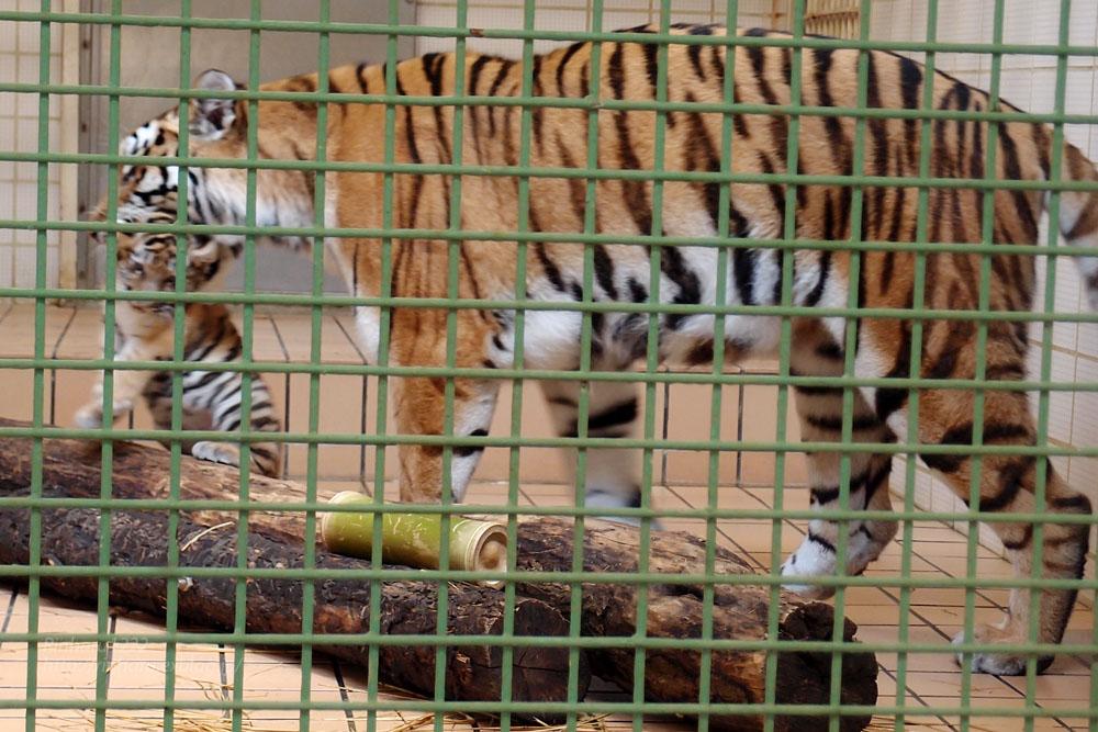 2015.5.24 茶臼山動物園☆トラのミライさんと赤ちゃん【Tiger】_f0250322_1392629.jpg