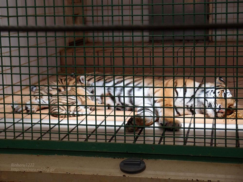 2015.5.24 茶臼山動物園☆トラのミライさんと赤ちゃん【Tiger】_f0250322_1393080.jpg