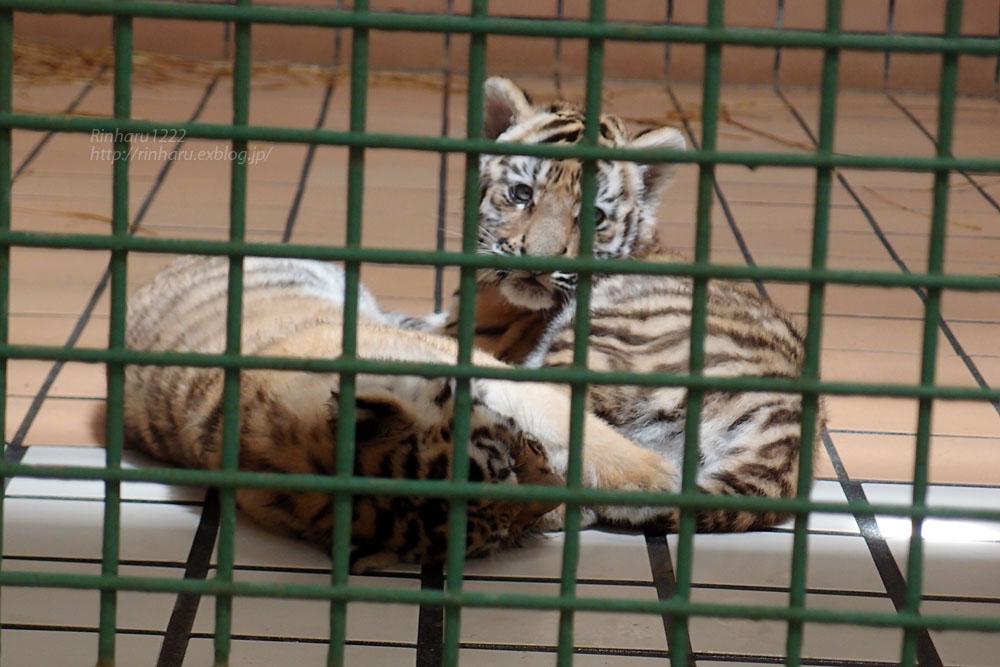 2015.5.24 茶臼山動物園☆トラのミライさんと赤ちゃん【Tiger】_f0250322_1393647.jpg
