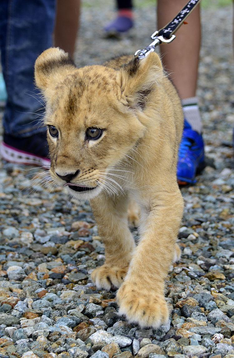 2015.8.14 那須サファリパーク☆ライオンののぞむ【Lion baby】_f0250322_14213576.jpg