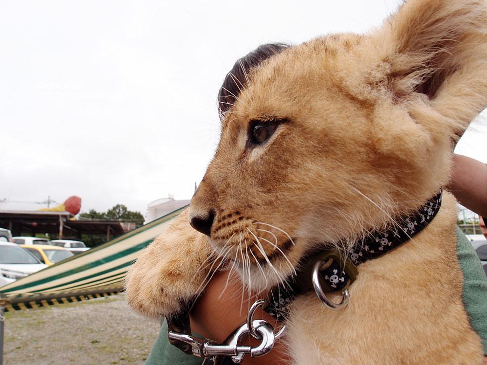 2015.8.14 那須サファリパーク☆ライオンののぞむ【Lion baby】_f0250322_1421382.jpg