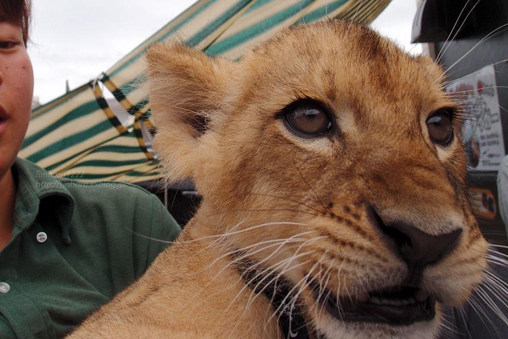 2015.8.14 那須サファリパーク☆ライオンののぞむ【Lion baby】_f0250322_14214132.jpg