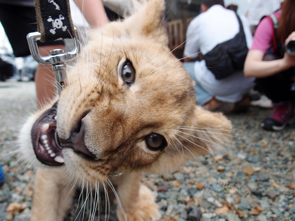 2015.8.14 那須サファリパーク☆ライオンののぞむ【Lion baby】_f0250322_14214540.jpg