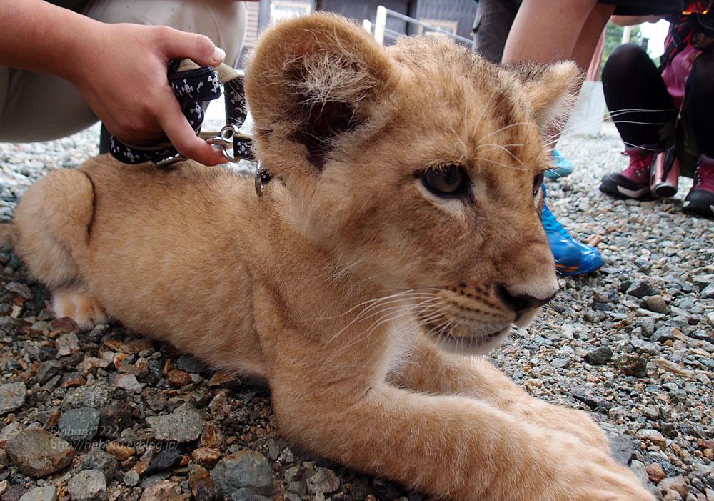 2015.8.14 那須サファリパーク☆ライオンののぞむ【Lion baby】_f0250322_142147100.jpg