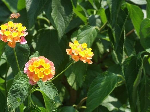庭の花たち。ランタナとバーベナ_b0089338_032353.jpg