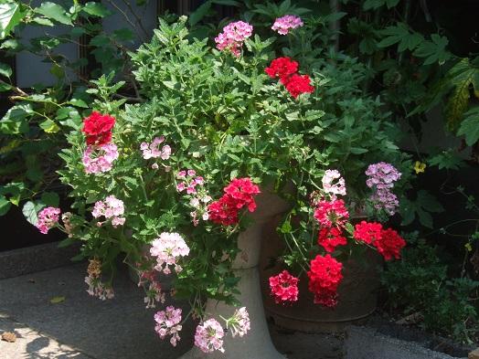 庭の花たち。ランタナとバーベナ_b0089338_033882.jpg