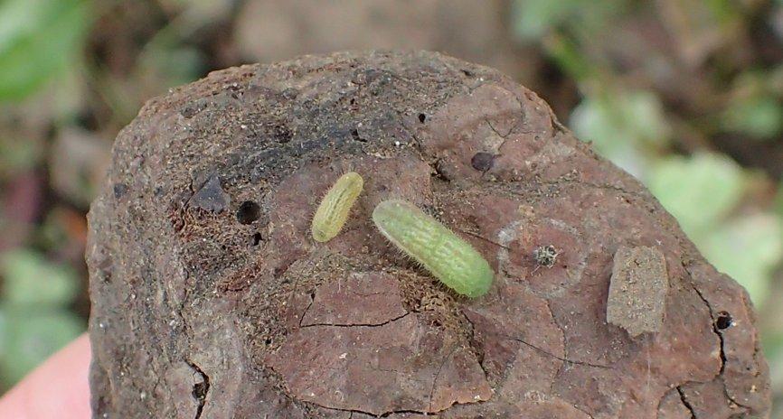 ヤマトシジミの幼虫たち(2015年8月30日) _d0303129_1332583.jpg