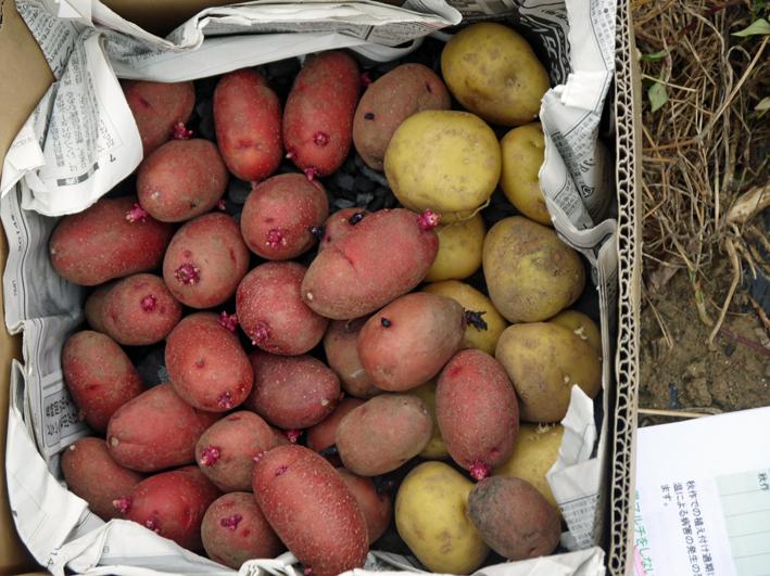 秋ジャガ植え付け、ダイコンやキャベツなどの種蒔き8・28~29_c0014967_21215997.jpg