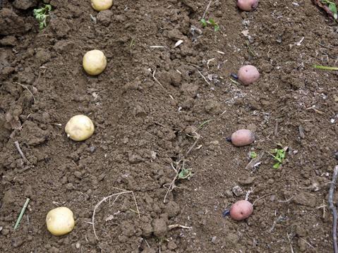 秋ジャガ植え付け、ダイコンやキャベツなどの種蒔き8・28~29_c0014967_2121869.jpg