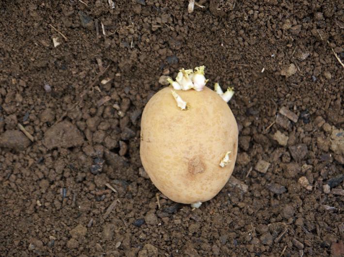 秋ジャガ植え付け、ダイコンやキャベツなどの種蒔き8・28~29_c0014967_21225860.jpg