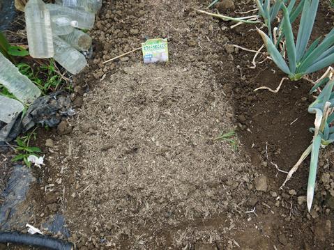 秋ジャガ植え付け、ダイコンやキャベツなどの種蒔き8・28~29_c0014967_21243290.jpg