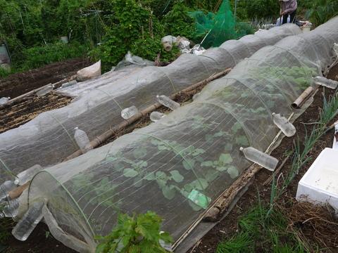 秋ジャガ植え付け、ダイコンやキャベツなどの種蒔き8・28~29_c0014967_21262456.jpg