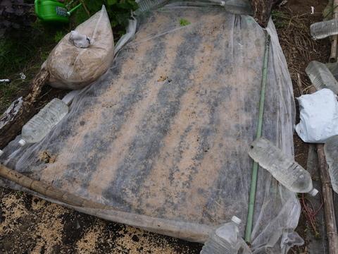 秋ジャガ植え付け、ダイコンやキャベツなどの種蒔き8・28~29_c0014967_21275456.jpg
