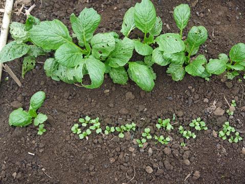 秋ジャガ植え付け、ダイコンやキャベツなどの種蒔き8・28~29_c0014967_21304513.jpg