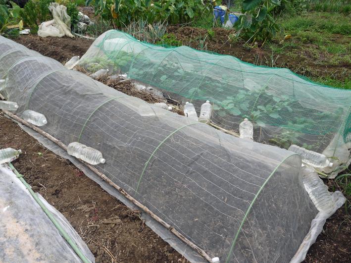 秋ジャガ植え付け、ダイコンやキャベツなどの種蒔き8・28~29_c0014967_21342336.jpg
