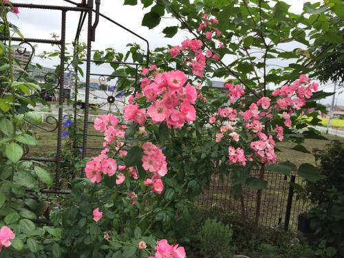 薔薇と朝顔_e0109554_10024402.jpg