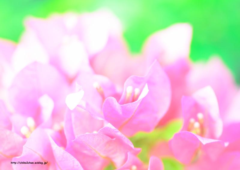 ピンクフリルの葉っぱ**_e0221779_15284875.jpg