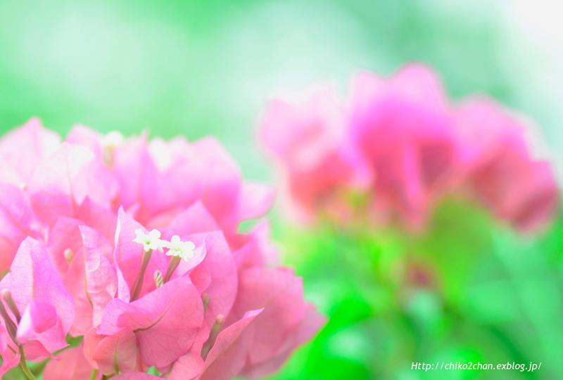 ピンクフリルの葉っぱ**_e0221779_15312232.jpg