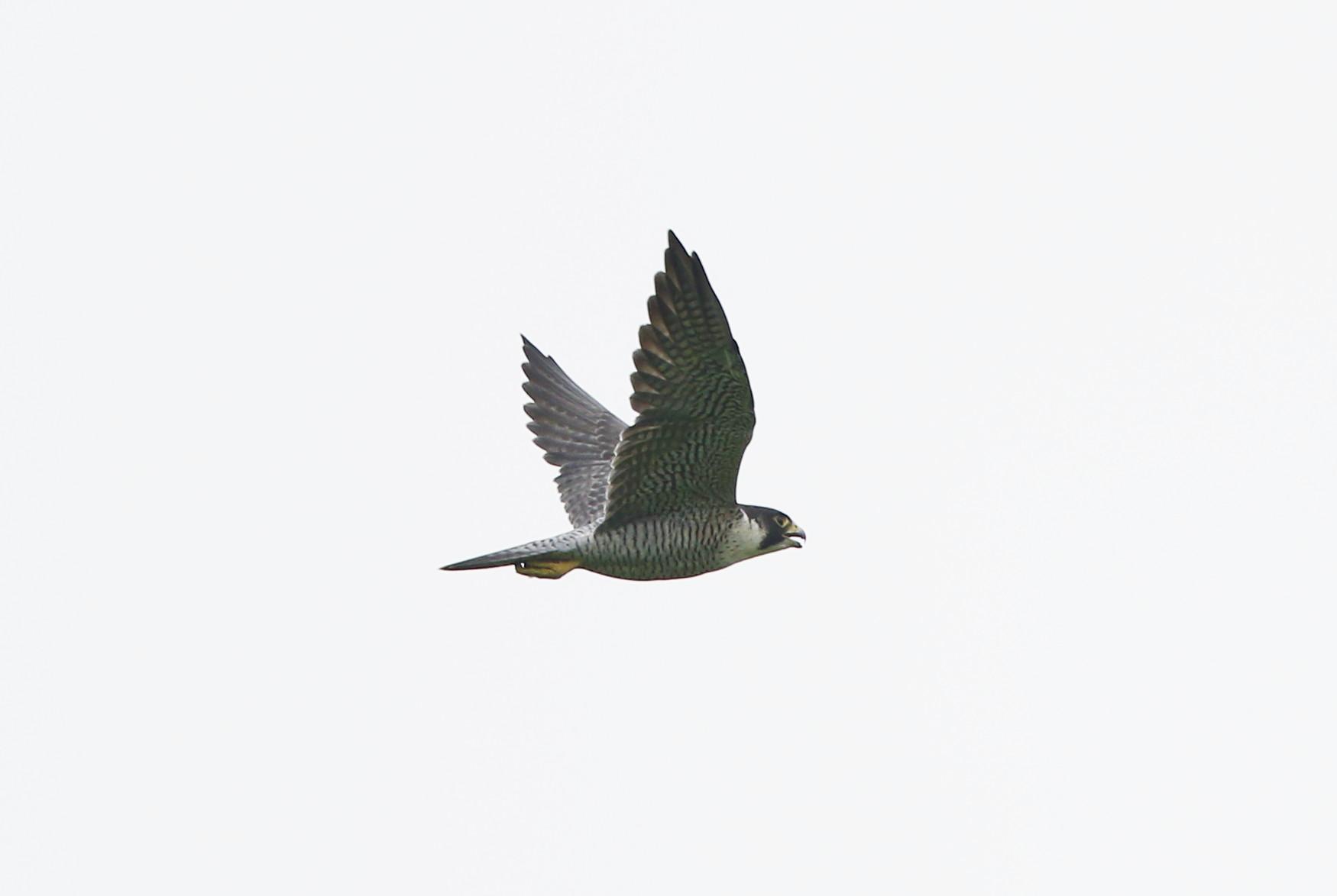 田んぼ巡りの探鳥でタシギに逢う_f0239515_17493456.jpg