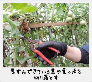 「のぶりんトマト」の甘い謎を解明!?なのだ。_c0259934_15414396.jpg