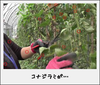 「のぶりんトマト」の甘い謎を解明!?なのだ。_c0259934_15420376.jpg