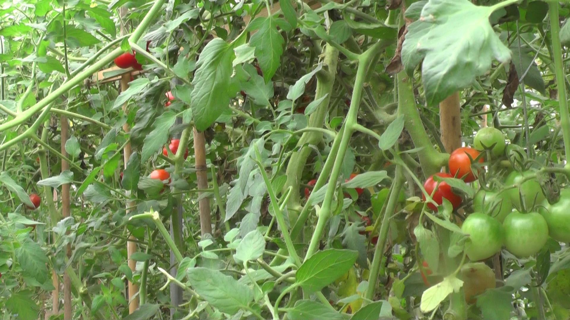 「のぶりんトマト」の甘い謎を解明!?なのだ。_c0259934_15423536.jpg