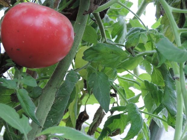 「のぶりんトマト」の甘い謎を解明!?なのだ。_c0259934_15473371.jpg