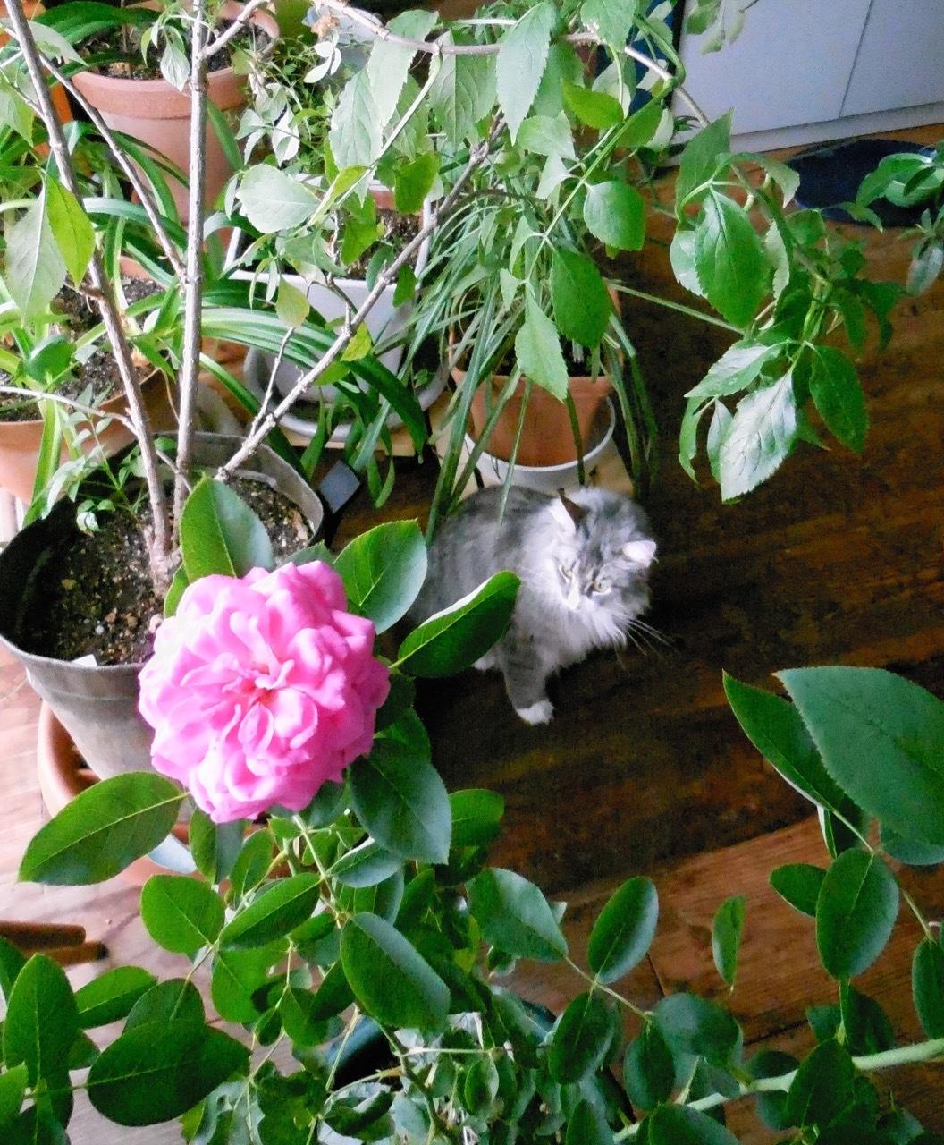 バラが咲いた!そしてウーラちゃんが・・・_e0356356_11341532.jpg