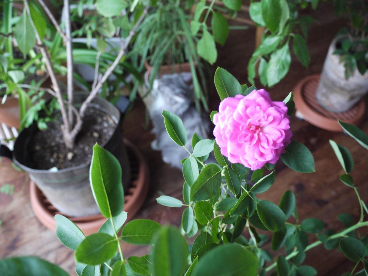 バラが咲いた!そしてウーラちゃんが・・・_e0356356_11405814.jpg