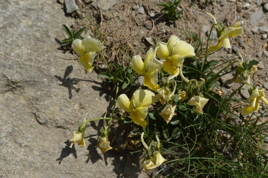 """2015年7月 『アルプス、エクラン国立公園に咲く花々』 July 2015 \""""Flowers in Des Ecrins of the Alps\""""_c0219616_18402788.jpg"""