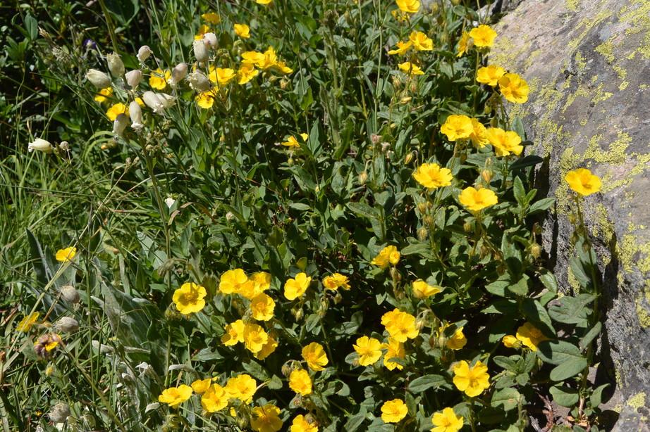 """2015年7月 『アルプス、エクラン国立公園に咲く花々』 July 2015 \""""Flowers in Des Ecrins of the Alps\""""_c0219616_1844246.jpg"""