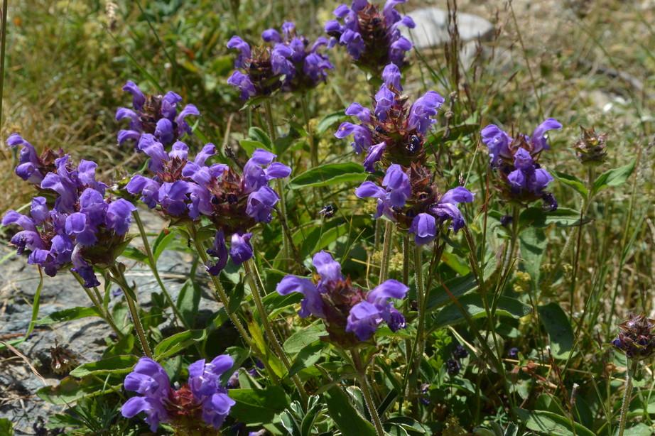 """2015年7月 『アルプス、エクラン国立公園に咲く花々』 July 2015 \""""Flowers in Des Ecrins of the Alps\""""_c0219616_1846487.jpg"""